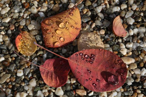 Pebbles Leaves Rain By Rona Kanpp